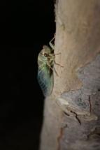 Freshly hatched cicada, DC