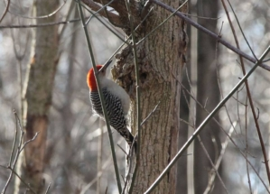 Woodpecker, Silver Spring, MD