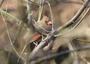 Female Red Cardinal