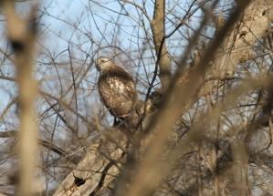 Bird of Prey, Silver spring, MD